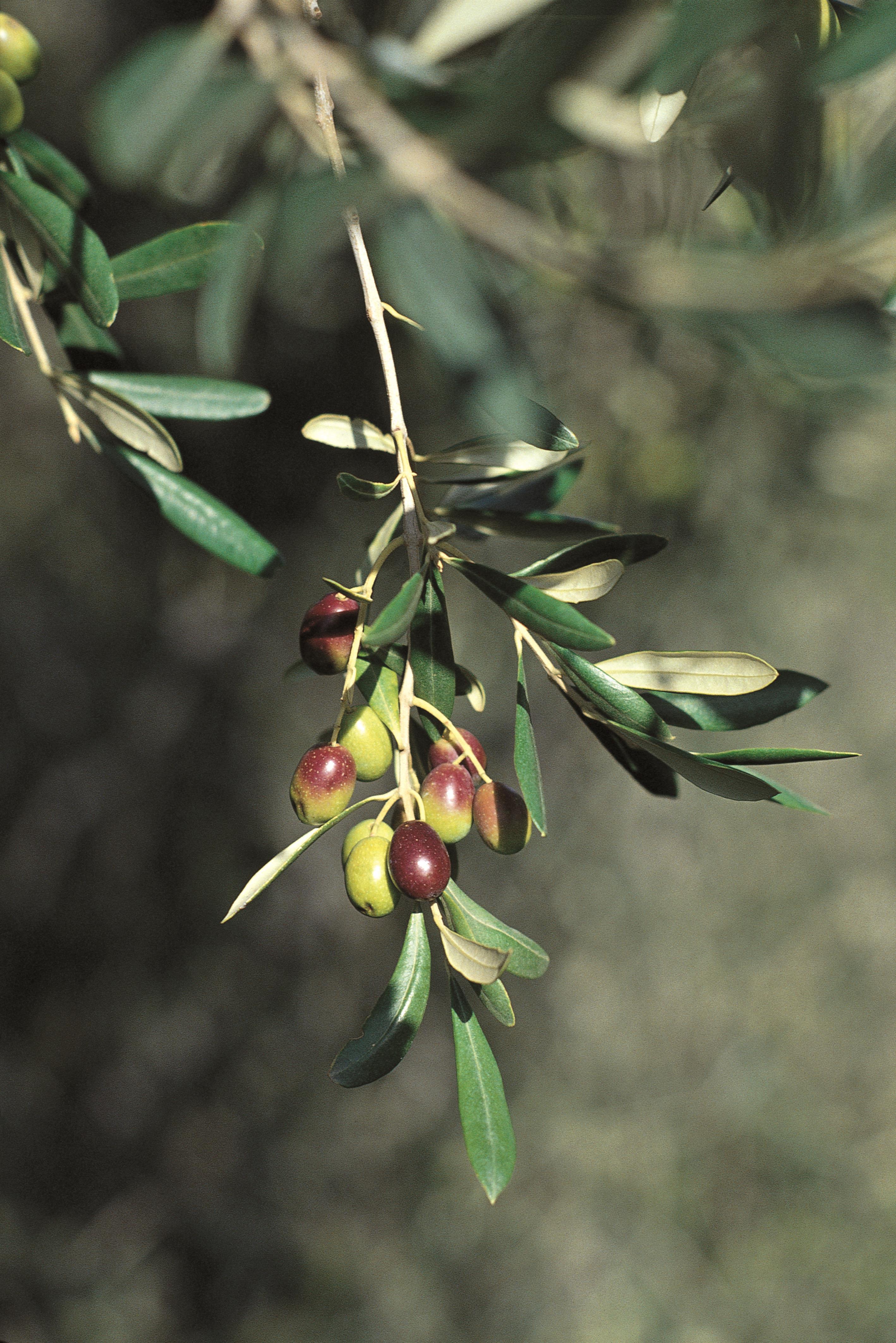 Dall'11 al 13 novembre torna a Imperia Olioliva, sedicesima edizione della grande festa autunnale interamente dedicata all'olivicoltura, all'agricoltura e al territorio del Ponente. In programma una tre giorni densa di…