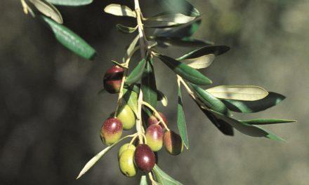 Una camminata tra gli olivi per celebrare le Città dell'olio