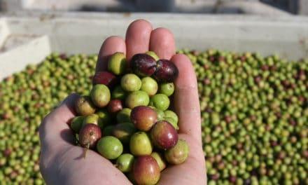 Imperia, capitale dell'olio di oliva
