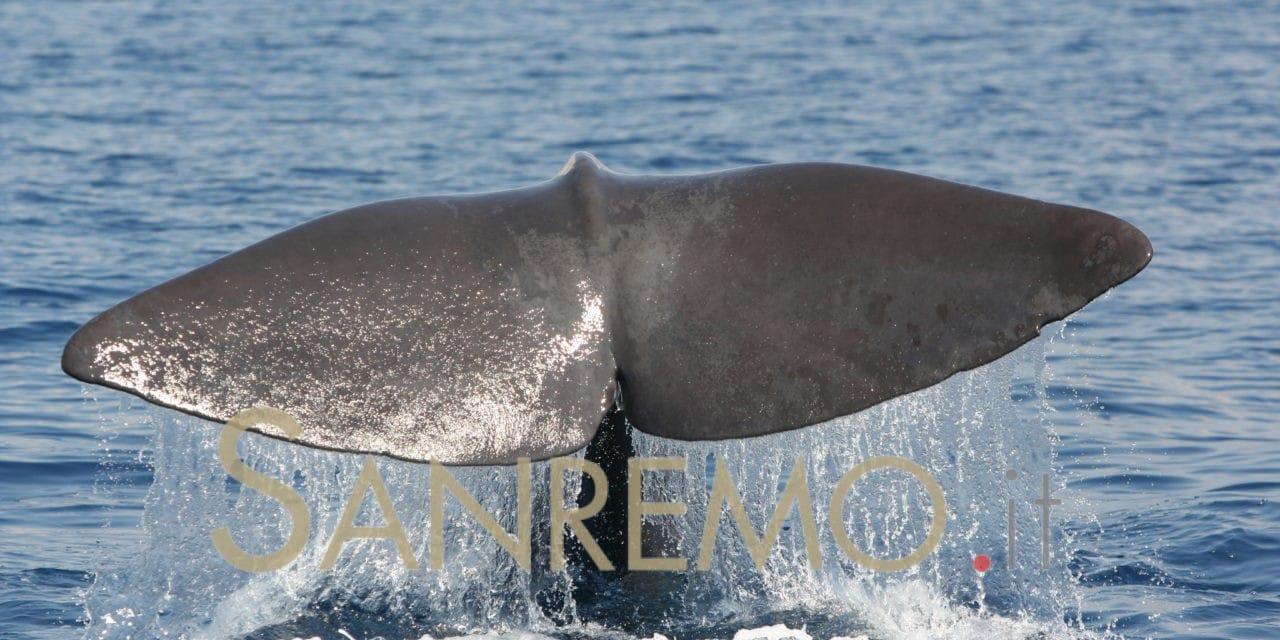 Dal 2 al 4 giugno Sanremo corre per le balene