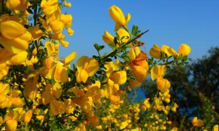 Tra ulivi e ginestre da Sant'Agata a Montegrazie