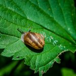 Chiocciola Bianca: quest'anno il primo raccolto delle lumache nell'azienda di Camporosso